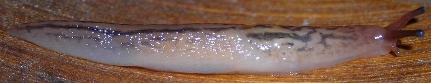 Limacidae (Limax) dal Molise