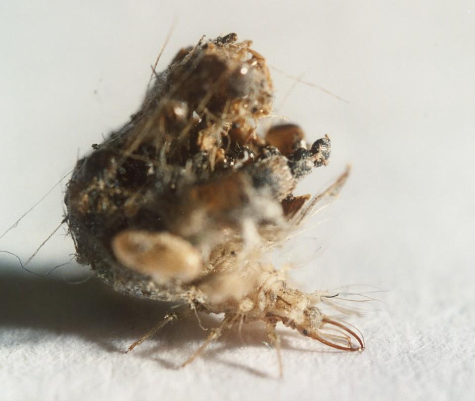 Larva di Chrysopidae