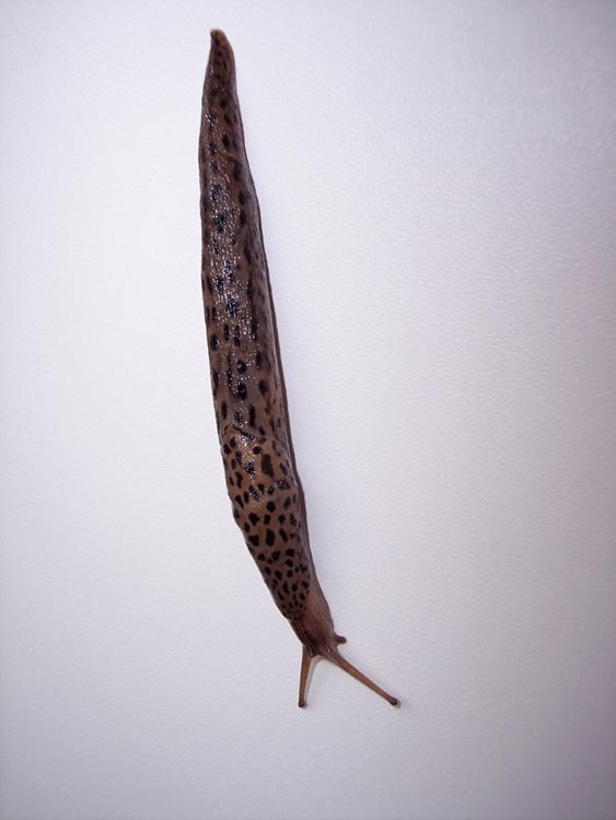 Limax maximus da Besate (PV)