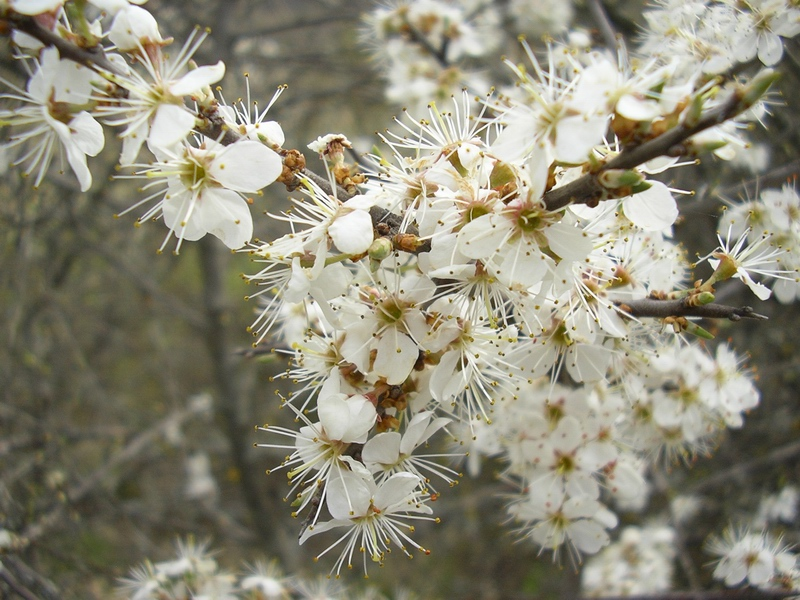 Prunus spinosa / Pruno selvatico