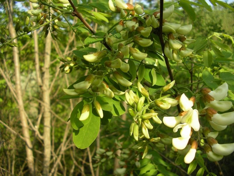 Robinia pseudoacacia / Robinia