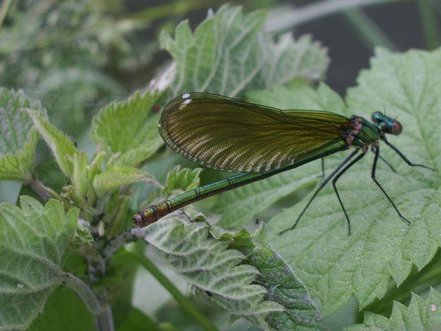 Calopteryx splendens e Libellula fulva (Odonata)