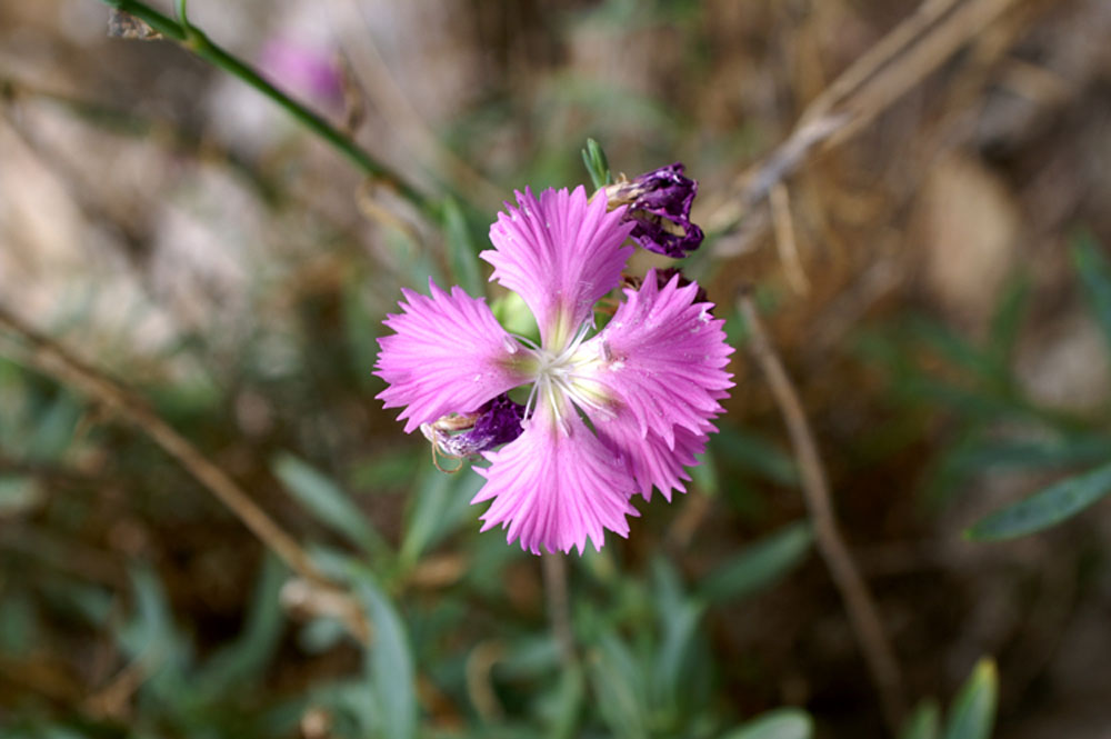 Dianthus rupicola / Garofano rupestre