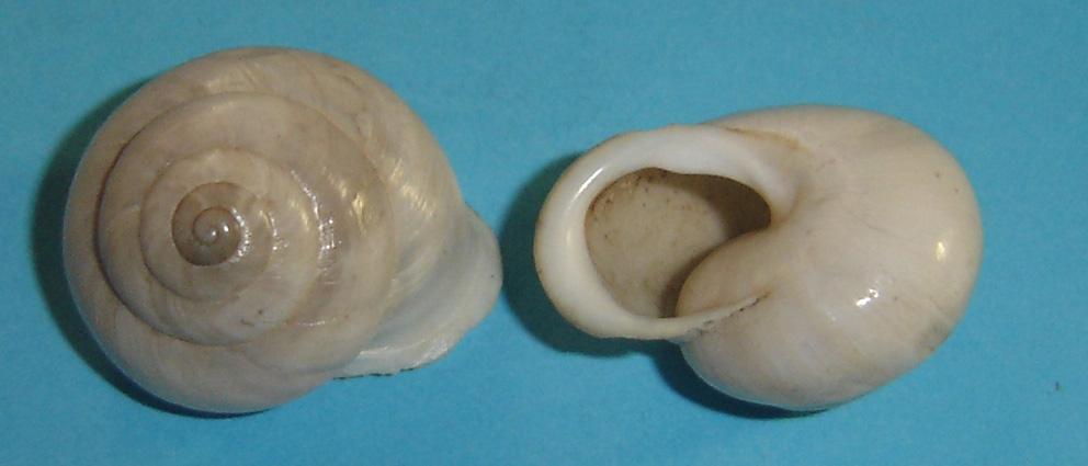 Marmorana (Murella) platychela (Menke, 1830)