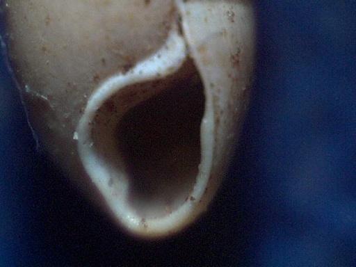 Hypnophila bisacchii Giusti 1970