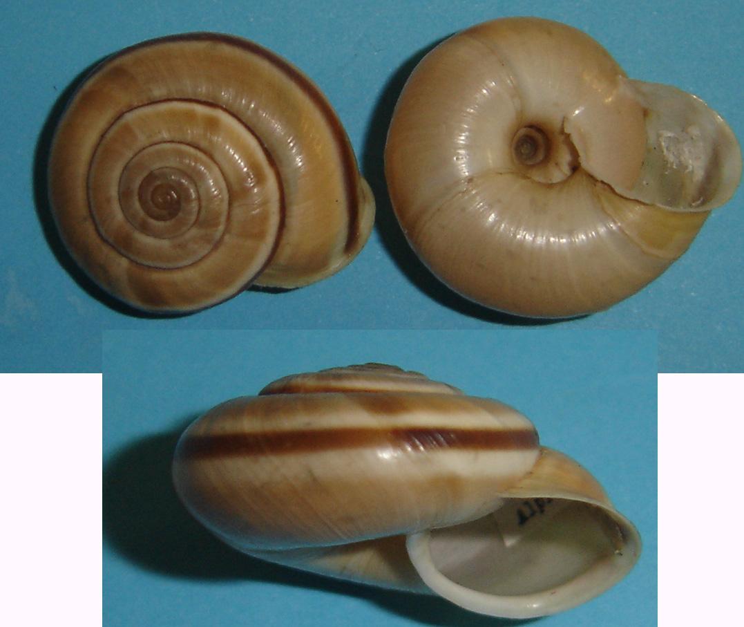 Chilostoma (Chilostoma) cingulatum apuanum (Issel, 1866)