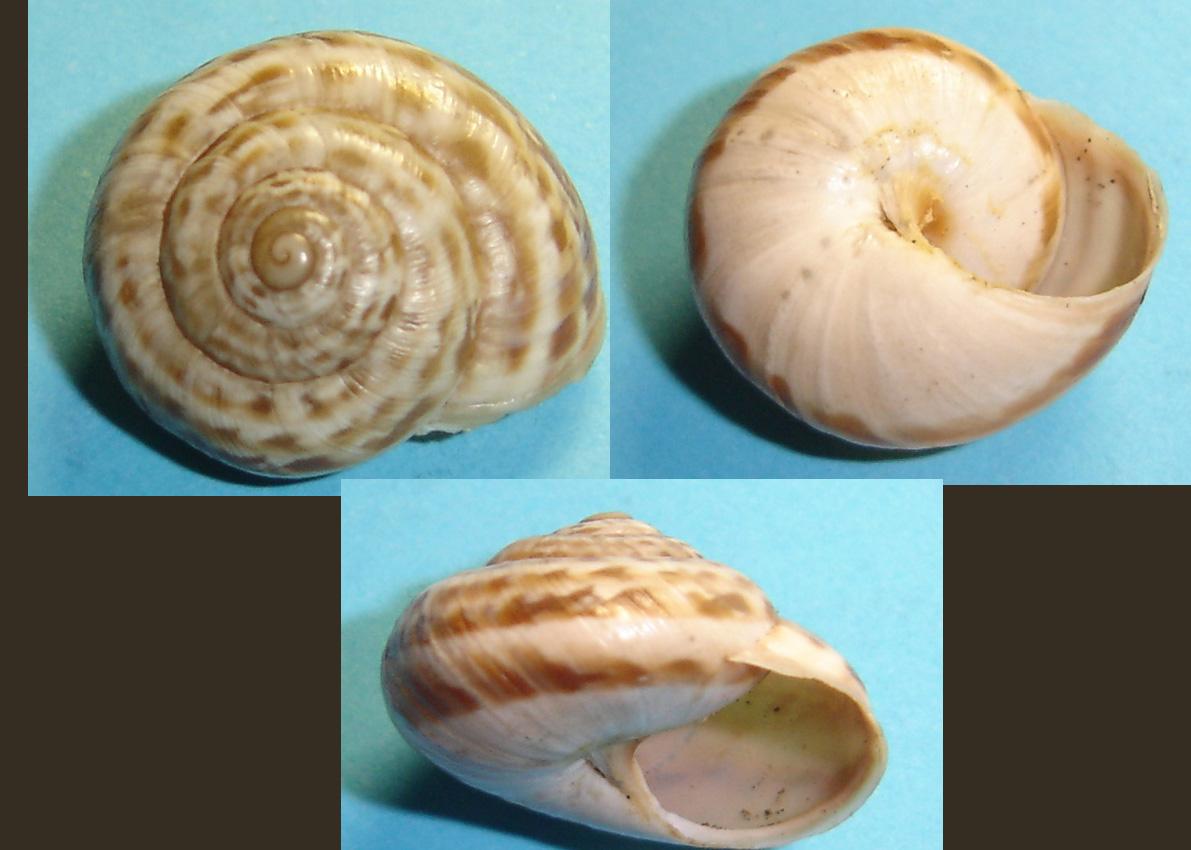 Marmorana (Ambigua) fuscolabiata (Rossmässler, 1842)
