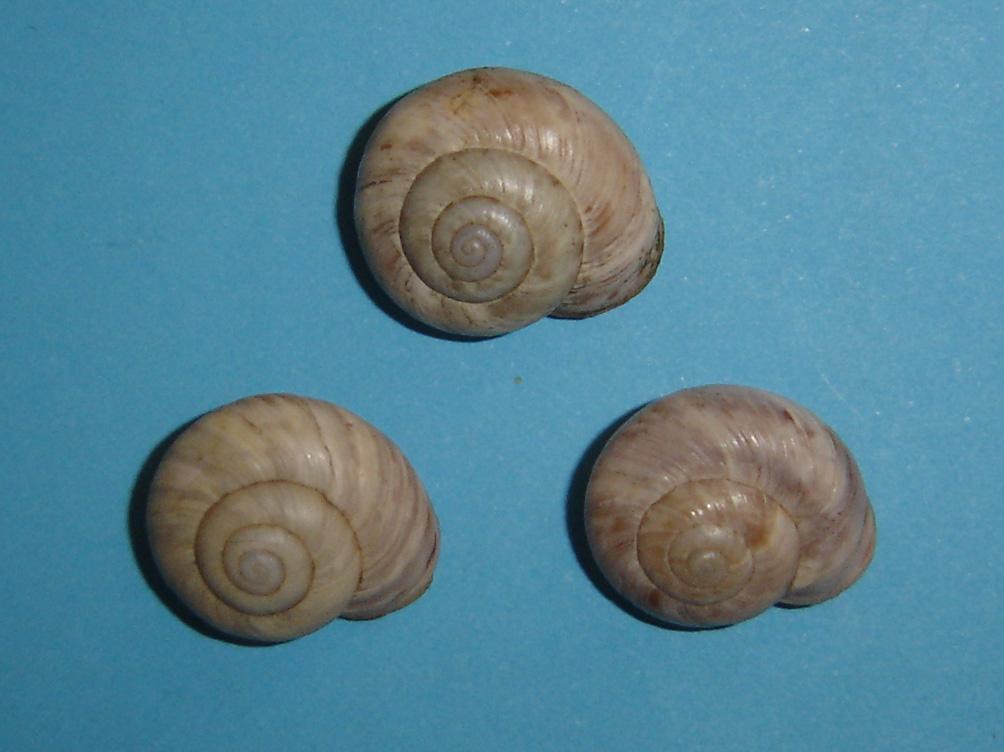 Macularia niciensis