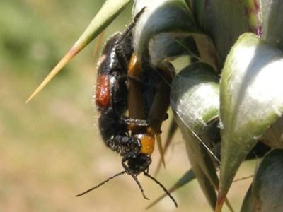 Coleotteri nel forum famiglia cleridae forum natura for Divora larve di zanzara
