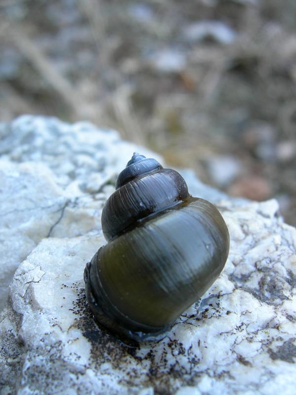 Viviparus contectus (Millet, 1813) e Planorbarius corneus