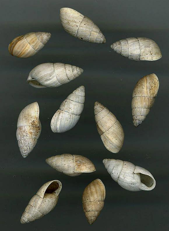 Zebrina (Zebrina) detrita (O.F. M�ller, 1774)