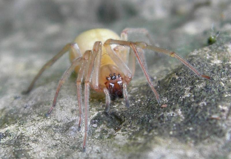 Cheiracanthium mildei - Cheiracanthiidae - Ravina (TN)