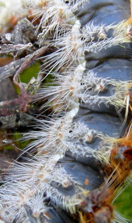 Processionaria del pino.....Thaumetopoea pityocampa (TN)