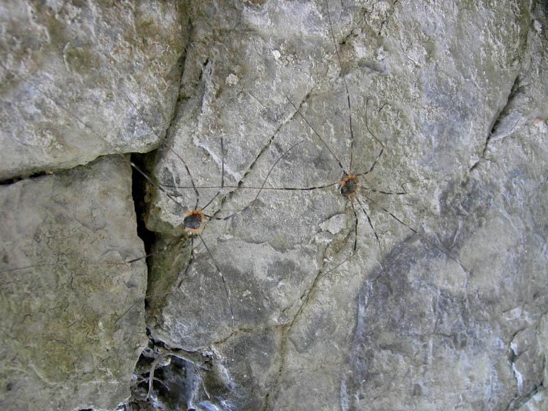 Opiliones dal trentino: Gyas annulatus