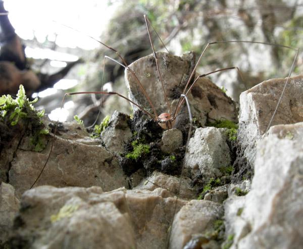 Leiobunum limbatum del Trentino