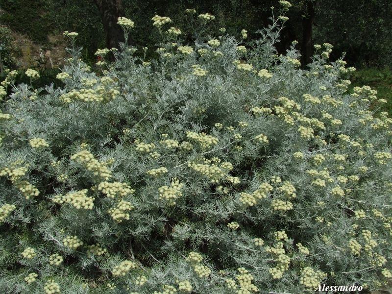 Pianta argentata con fiorellini bianchi forum natura for Pianta mediterranea con fiori rossi bianchi e gialli