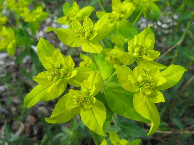 Euphorbia verrucosa / Euforbia verrucosa