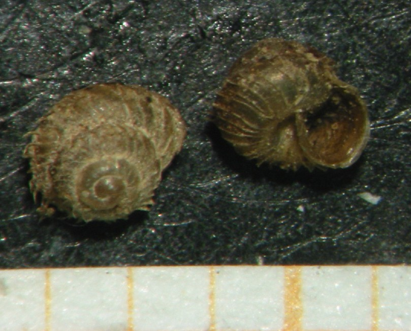 Acanthinula aculeata (O.F. Müller, 1774)