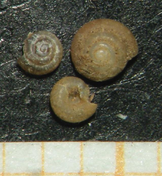 Punctum pygmaeum (Draparnaud, 1801)