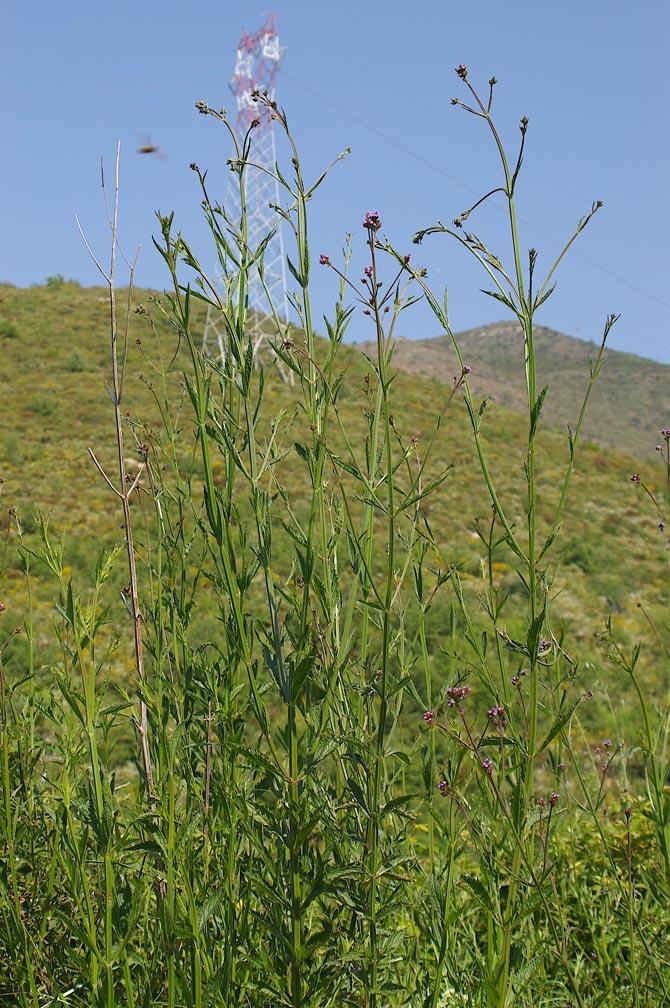 Verbena bonariensis verbena del brasile forum natura - Verbena pianta ...
