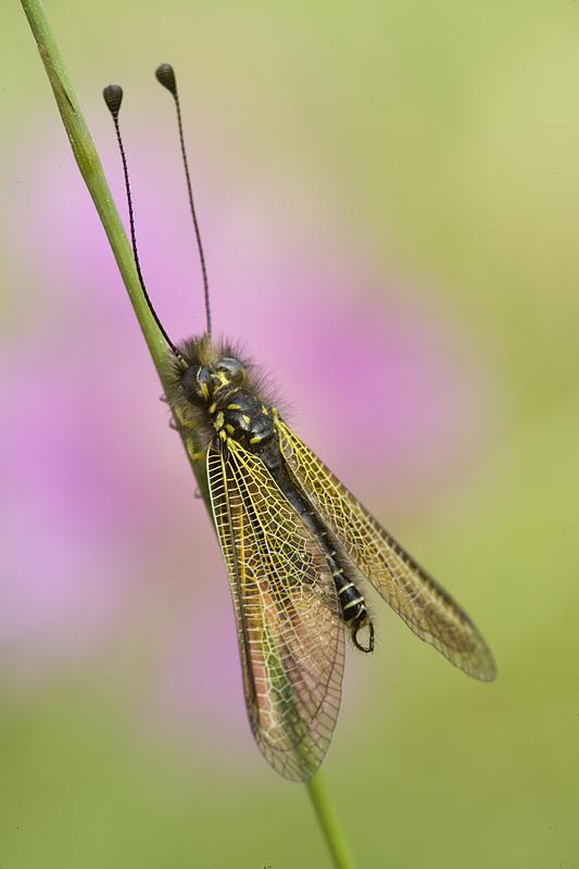 Libelloides corsicus maschio