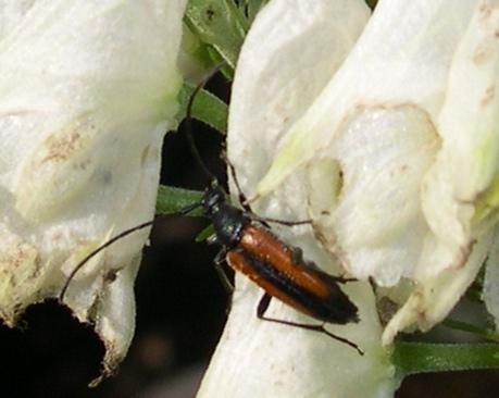 sull''Aconito: Stenurella melanura (Cerambycidae)