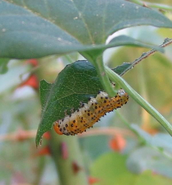 bruco mangia-rose - Arge ochropus  (Hym. Argidae)