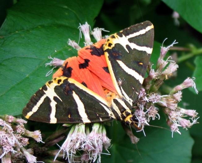 Euplagia quadripunctaria (Lepidoptera, Arctiidae)