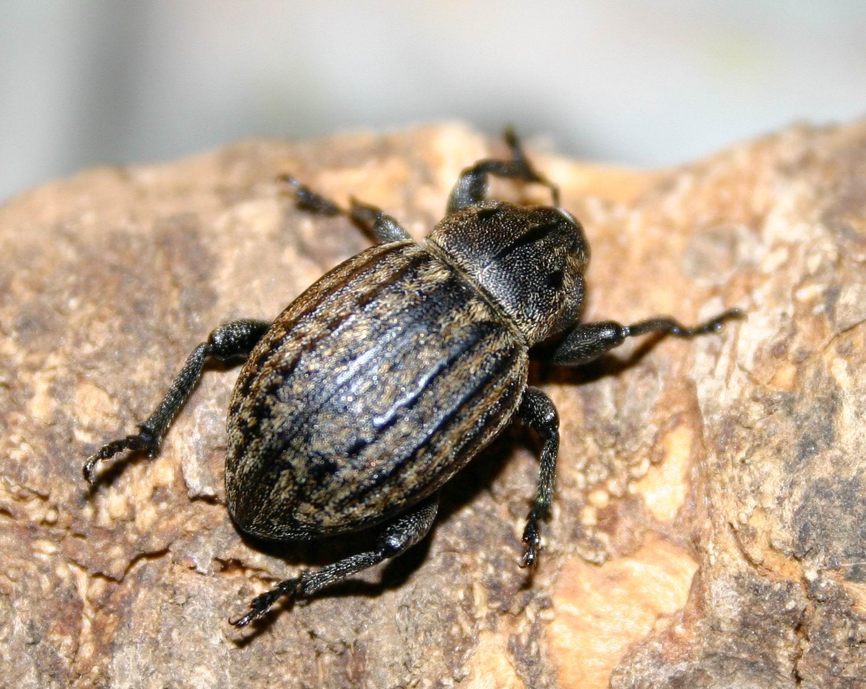 Anisorhynchus barbarus sturmi (Coleoptera, Curculionidae)