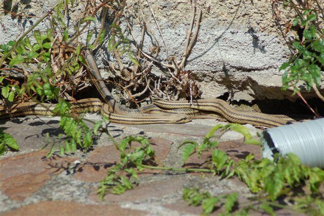 Cervoni sulla terrazza di casa mia forum natura for Posso costruire una casa sulla mia terra