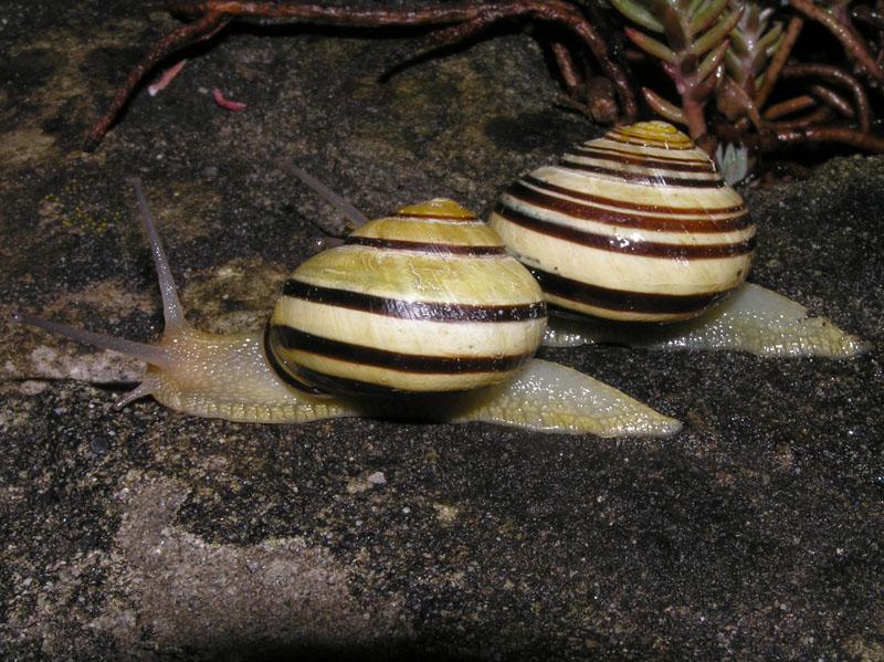 Cepaea nemoralis e C.hortensis: variazioni e  differenze