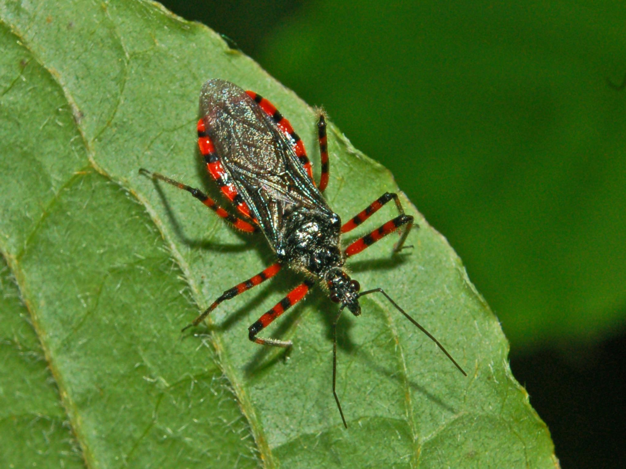 Rhynocoris e Sphedanolestes italiani (Het., Reduviidae)