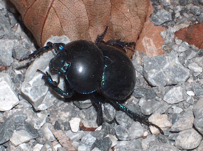 Trypocopris vernalis appenninicus