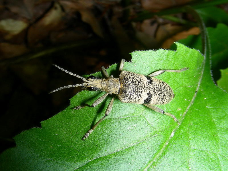 Rhagium mordax (Cerambycidae)