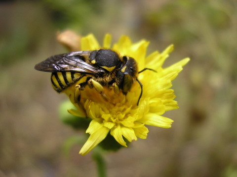 Anthidium sp. (Apidae Megachilinae)