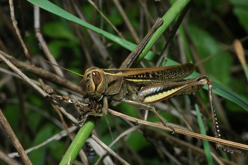 Eyprepocnemis plorans in piena città di Roma (Orthoptera)