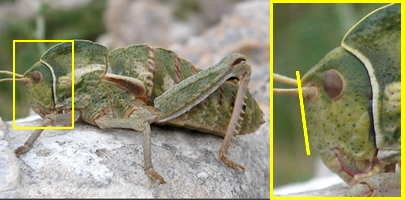 Grilli, Locuste e Cavallette: ORTHOPTERA Guida alle Famiglie