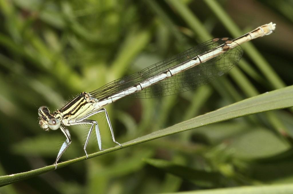 Platycnemididae Odonata Tassonomia Platycnemididae