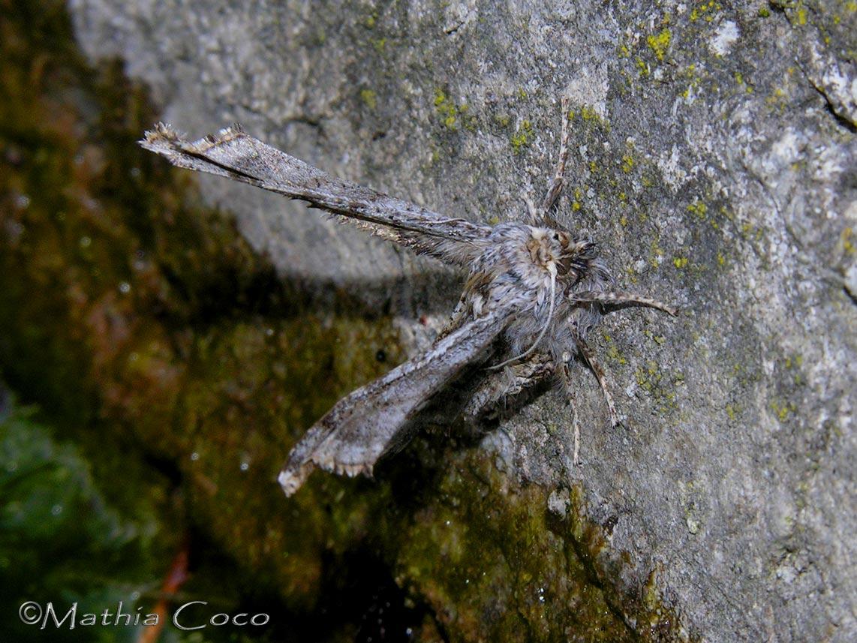 insetto T - Emmelina monodactyla