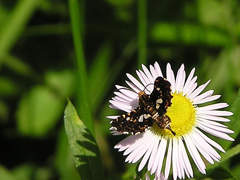 Thyris fenestrella (Lepidoptera, Thyrididae)