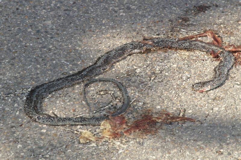 Un serpente nero di 4 metri nel beneventano forum for Serpente nero italiano
