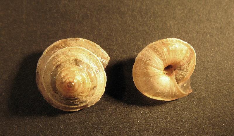 Trochoidea (Trochoidea) elegans (Gmelin, 1791)