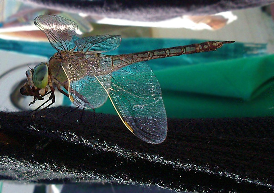 Anax parthenope sull''Isola d''Elba (Odonata)