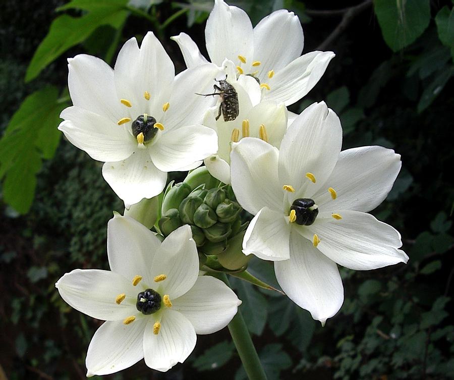 Ornithogalum Arabicum ...