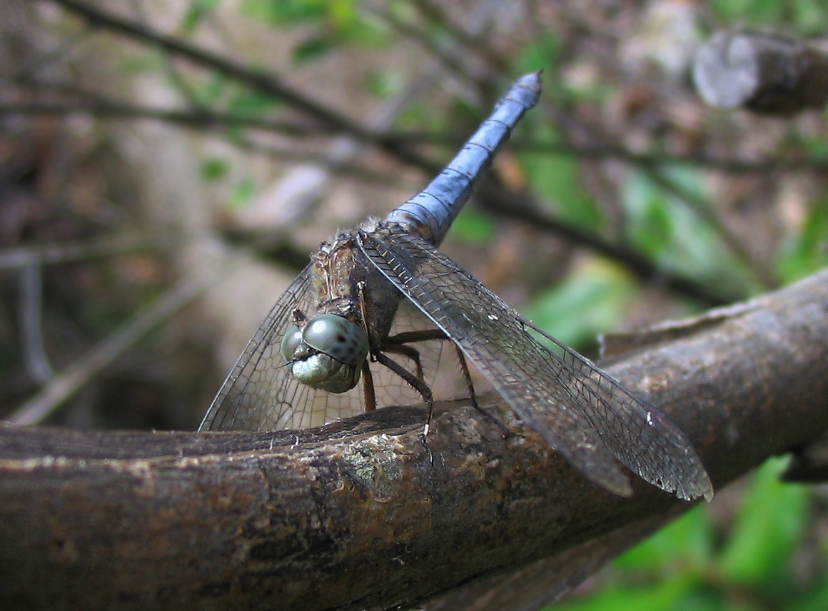 Orthetrum coerulescens (Odonata, Libellulidae)