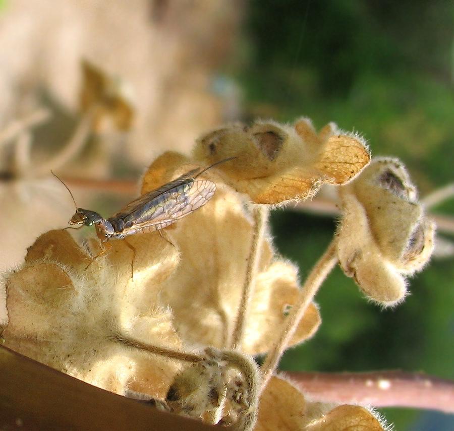 Xanthostigma corsicum