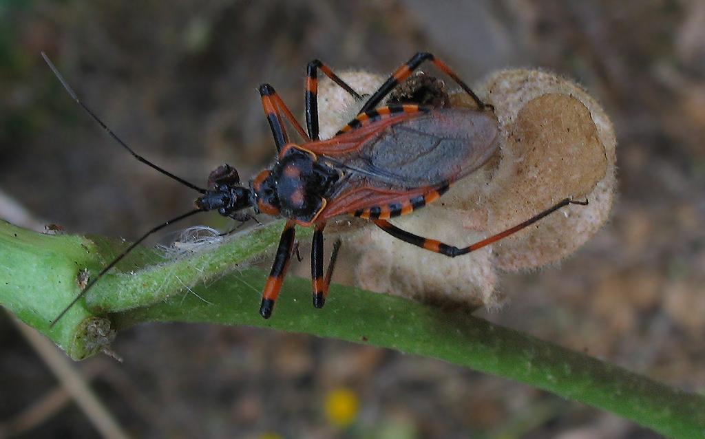 Rhynocoris cuspidatus, nuovo per la fauna italiana