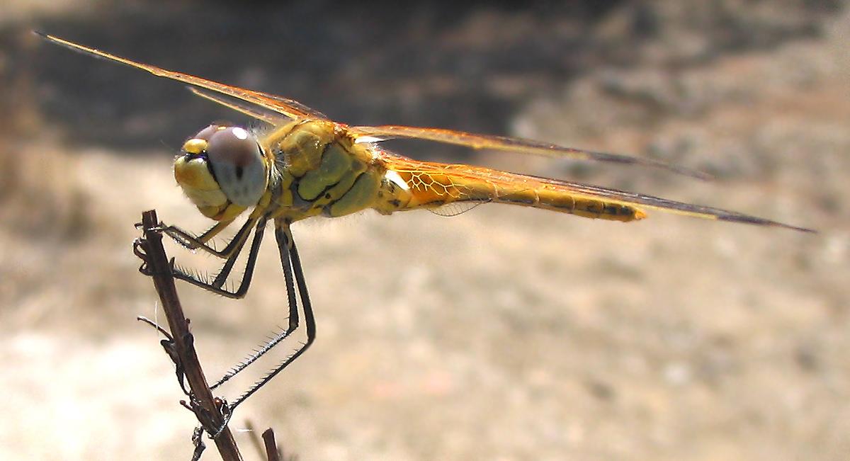 Odonata: Sympetrum fonscolombii (maschio immaturo)
