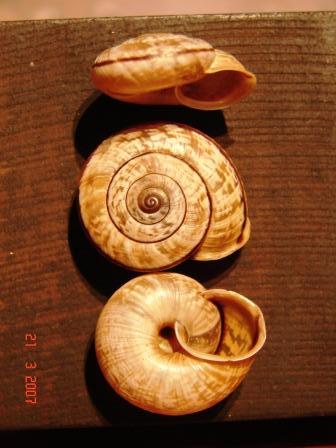 Chilostoma cingulatum colubrinum (De Cristofori & Jan, 1832)