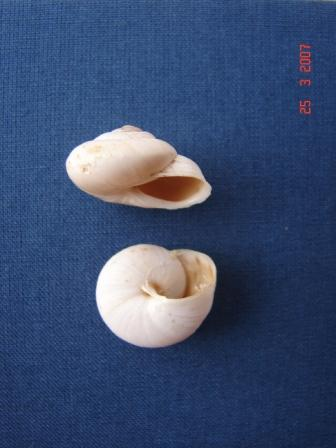 Marmorana (Murella) nebrodensis (Pirajno, 1840)